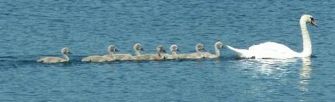 Schwäne auf dem Schweriner See